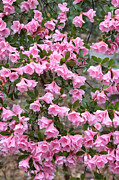 Azaleas Photos - Rainy Day Azaleas by Carol Groenen