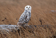 Tim Moore Metal Prints - Rainy Day Snowy Owl Metal Print by Tim Moore