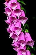Foxglove Flowers Framed Prints - Rainy Forest Foxglove Framed Print by Carol Groenen