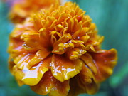 HEVi FineArt - Rainy Marigolds