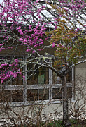 Blooming Digital Art Prints - Rainy Redbud II Print by Suzanne Gaff