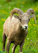 Natural Focal Point Photography - Ram in Glacier National...