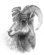 Mountain Goat Drawings - Ram study by Meagan  Visser