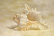 Seashell Art Photo Prints - Rams Murex Print by Cindi Ressler