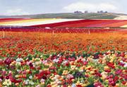 Red Flowers Art - Ranunculi in Carlsbad by Mary Helmreich