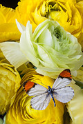 Insects Posters - Ranunculus and butterfly Poster by Garry Gay