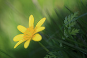 HJBH Photography - Ranunculus ficaria - yellow buttercup