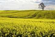 Crops Art - Rape landscape with lonely tree by Heiko Koehrer-Wagner