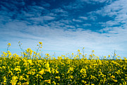 Rapeseed Photos - Rapeseed Field  by Kai Bergmann