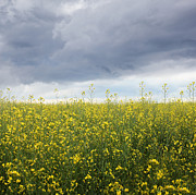 Sandra Cunningham - Rapeseed flower field with storm clouds