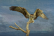 Osprey Florida Framed Prints - Raptor Display Framed Print by Deborah Benoit