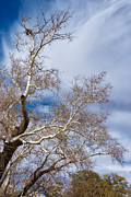 American Sycamore Prints - Raptor Nest Print by Kathleen Bishop