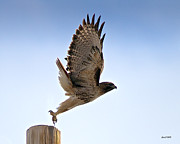 Stephen  Johnson - Raptor Road Red Tail Hawk