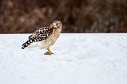 Red-shouldered Hawk Prints - Raptors Prize  Print by Bill  Wakeley