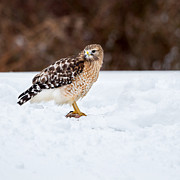 Red-shouldered Hawk Prints - Raptors Prize Square Print by Bill  Wakeley