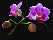 Orchid Artwork Posters - Rare Beauty Poster by Juergen Roth