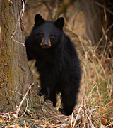 Black Bear Posters - Rare cub Poster by Christopher Balmer
