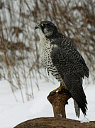Gyrfalcon  Posters - rare Discovery Gyrfalcon in the Winter Snow Poster by Inspired Nature Photography By Shelley Myke