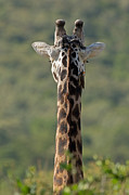 Patterned Photo Posters - Rare Faceless Giraffe Poster by Ashley Vincent