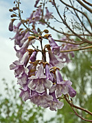 Cluster Of Flowers Photo Posters - Rare Foxglove Tree Paulownia Tomentosa Blooms Poster by Valerie Garner