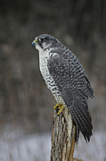 Gyr Falcon Posters - Rare Gyrfalcon Raptor in the Snow Poster by Inspired Nature Photography By Shelley Myke