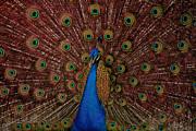 Rare Pink Tail Peacock Print by Eti Reid