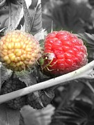 Raspberry Photo Originals - Raspberry Guardian by Jeremiah Colley