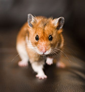 Syrian Hamster Photos - Ratty the Hamster by Robert Down