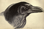 Audubon Drawings Posters - Raven Poster by David Douglas