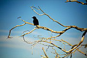 Raven Prints - Raven Overseer Print by Marilyn Hunt