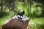 Raven Photos - Raven Rock by Douglas Barnard
