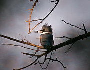 Belted Prints - Ray Of Light On Kingfisher Print by Robert Frederick