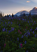 Anenome Prints - Rays over Rainier Print by Mike  Dawson