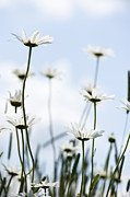Asteraceae Framed Prints - Reach For The Sky Framed Print by Anne Gilbert