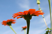 Wildflower Photos Prints - Reach for the Sky Print by Neal  Eslinger