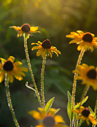 Black Eyed Susan Print Prints - Reach for the sun Print by Stacy Abbott