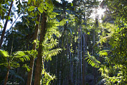 Queensland Kauri Pines Prints - Reach Print by Linda Lees