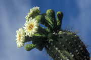 Cactus Flowers Framed Prints - Reaching for the Sky Framed Print by Sandra Bronstein