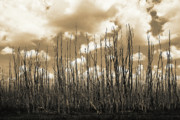Everglades Metal Prints - Reaching To the Sky Metal Print by Gary Dean Mercer Clark