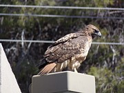 Red Tail Hawk Photo Posters - Readtail Hawk Poster by Davon Duncan