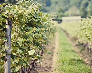 Vineyard Landscape Prints - Ready for Harvest  Print by Lisa Russo
