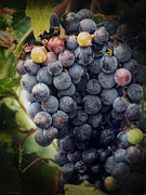 Merlot Posters - Ready for Harvest Poster by Lucinda Walter