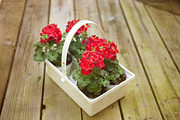 Red Geraniums Photo Prints - Ready to Plant Print by Kay Pickens