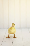 Ducklings Photos - Ready to Rumble by Amy Tyler