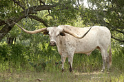 Texas Longhorns Photos - Ready to Rumble by Robert Anschutz