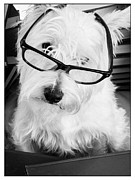 Westie Photos - Really by Edward Fielding