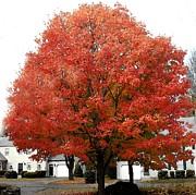 Patricia Sundik - Really Red Maple Tree