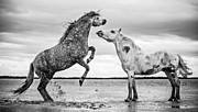 Sea Shore Posters - Rearing Stallion I Poster by Tim Booth
