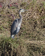 Preditor Photos - reat Blue Heron by Ansel Price