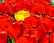 Red Tulips Prints - Rebel Yellow Print by Benjamin Yeager